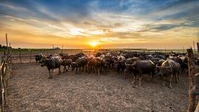 Búfalo en Tailandia en la puesta del sol Imágenes de archivo libres de regalías