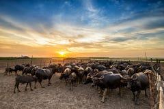 Búfalo en Tailandia en la puesta del sol Foto de archivo libre de regalías