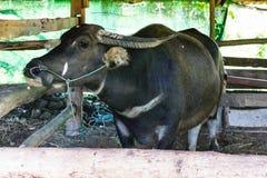 Búfalo en una parada de bambú foto de archivo