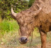 Búfalo enlameado. Fotografia de Stock