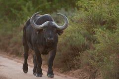 Búfalo grande Imagen de archivo libre de regalías