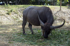 Búfalo grande con el cuerno fotos de archivo