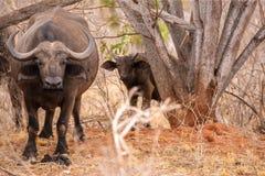 Búfalo grande e pequeno que olha entre as árvores Foto de Stock Royalty Free