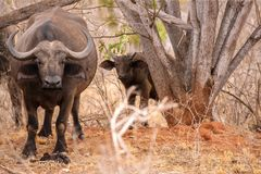 Búfalo grande y pequeño que mira entre los árboles Foto de archivo libre de regalías