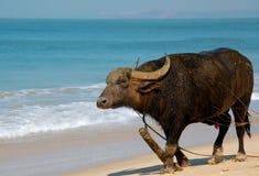 Búfalo indio en la playa Fotos de archivo libres de regalías