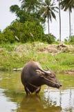 Búfalo local tailandés. Fotografía de archivo libre de regalías