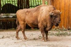 Búfalo marrón grande Imagen de archivo