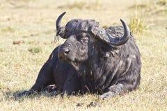 Búfalo masculino del cabo Fotos de archivo libres de regalías