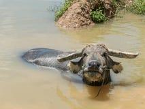 Búfalo na água Imagem de Stock Royalty Free