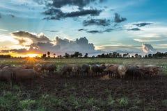 Búfalo na almofada do por do sol do nascer do sol do campo Fotografia de Stock