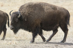 Búfalo na Grandes Planícies Imagem de Stock