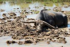 Búfalo na lama Imagem de Stock