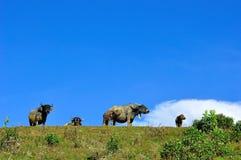 Búfalo na montanha Imagens de Stock