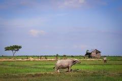 Búfalo na vila asiática imagens de stock
