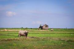 Búfalo na vila asiática imagens de stock royalty free