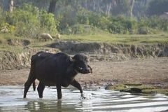 Búfalo nacional que cruza el río, Bardia, Nepal Fotos de archivo