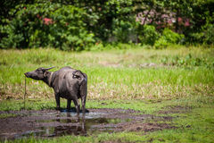Búfalo no campo enlameado imagens de stock