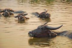 Búfalo no fundo da água fotografia de stock