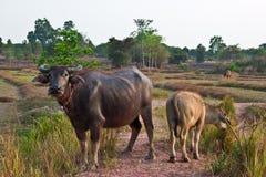 Búfalo de Tailândia Fotos de Stock Royalty Free