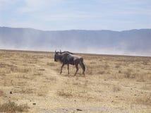 Búfalo no parque do safari em Tanzânia África Fotos de Stock