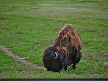 Búfalo no parque nacional de Yellowstone imagem de stock