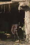 Búfalo novo na exploração agrícola do nepali, Bardia, Teraï, Nepal Imagem de Stock