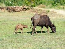Búfalo pequeno com sua mãe que eatting a grama verde Fotos de Stock
