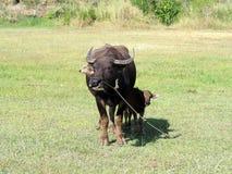 Búfalo pequeno com sua mãe que está na grama verde fotografia de stock