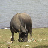 Búfalo & plástico imagem de stock