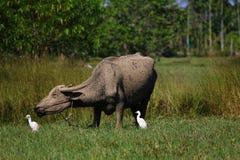 Búfalo pobre Imagenes de archivo