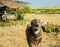 Búfalo, posição, campo, cabana Fotografia de Stock Royalty Free