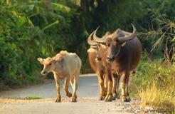 Búfalo que camina en el camino Imagen de archivo libre de regalías