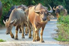 Búfalo que camina en el camino Fotos de archivo