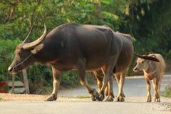 Búfalo que camina en el camino Fotos de archivo libres de regalías