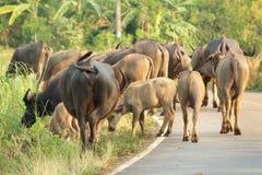 Búfalo que camina en el camino Fotografía de archivo