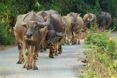 Búfalo que camina en el camino Foto de archivo libre de regalías