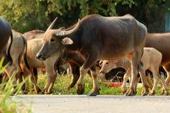 Búfalo que camina en el camino Imágenes de archivo libres de regalías