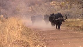 Búfalo que camina en una manada abajo de una pista polvorienta
