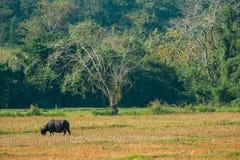 Búfalo que come a grama no campo Imagem de Stock