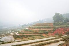 Búfalo que come a grama no terraço do arroz em um dia nevoento Imagem de Stock