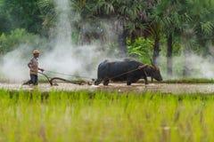 Búfalo que controla del granjero para arar la granja del arroz Imagenes de archivo