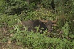 Búfalo que descansa por el borde de la carretera Fotografía de archivo libre de regalías