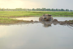 Búfalo que dorme na água Fotografia de Stock