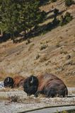 Búfalo que encontra-se perto do trajeto no parque nacional de Yellowstone imagem de stock royalty free