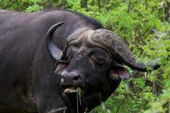 Búfalo que introduce Imagen de archivo libre de regalías