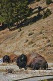 Búfalo que miente cerca de la trayectoria en el parque nacional de Yellowstone imagen de archivo libre de regalías