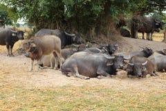 Búfalo que miente masticando la hierba Foto de archivo