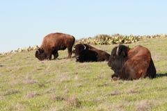 Búfalo que pasta Fotos de archivo libres de regalías