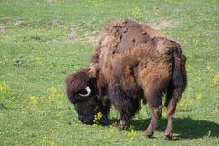 Búfalo que pasta Fotografía de archivo