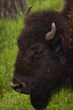 Búfalo que pasta na grama da mola do rancho fotografia de stock royalty free
